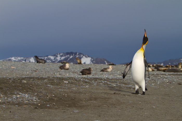 penguin with a bright orange beak and bright orange yellow throat and chest looking up