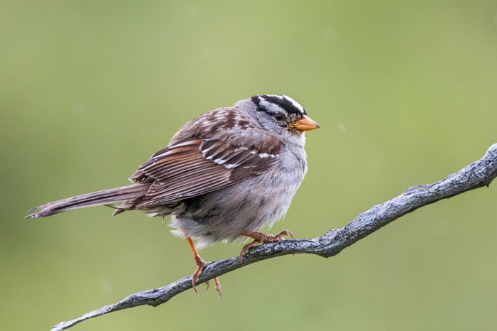 small round sparrow bird standing on a grey twig branch against a background of green field