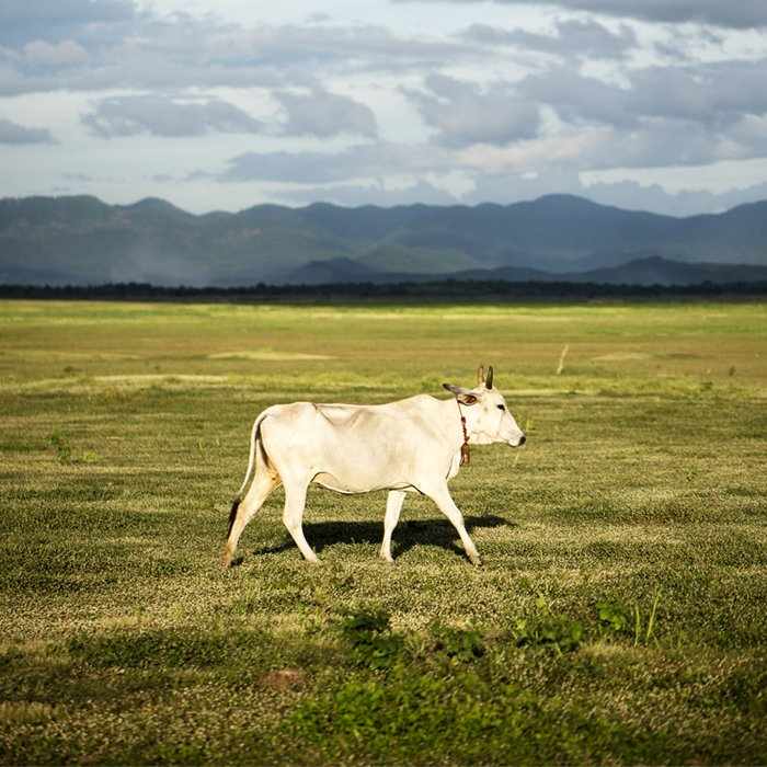 A white cow in the centre of the frame walking across a serene landscape on a cloudy day