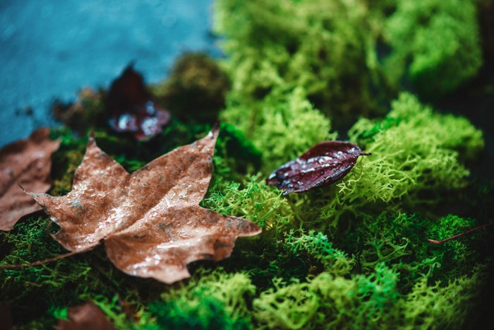 Autumn leaves on a green moss with close-up of maple leaf texture. Autumn-themed.