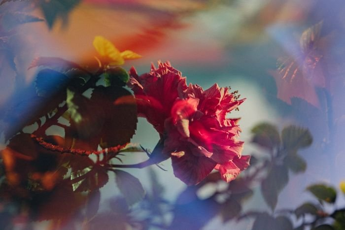 Dreamy photo of red roses shot through a glass prism in front of the lens