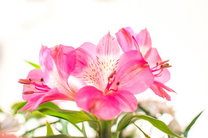 close up of pink flowers with large petals