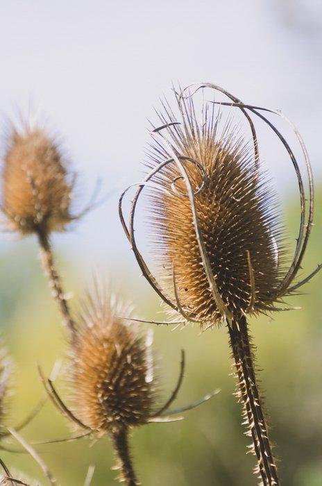 close up of three wild thistle flowers