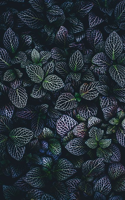 A beautiful portrait of dark green and purple leaves - the texture of the leaves stands out.