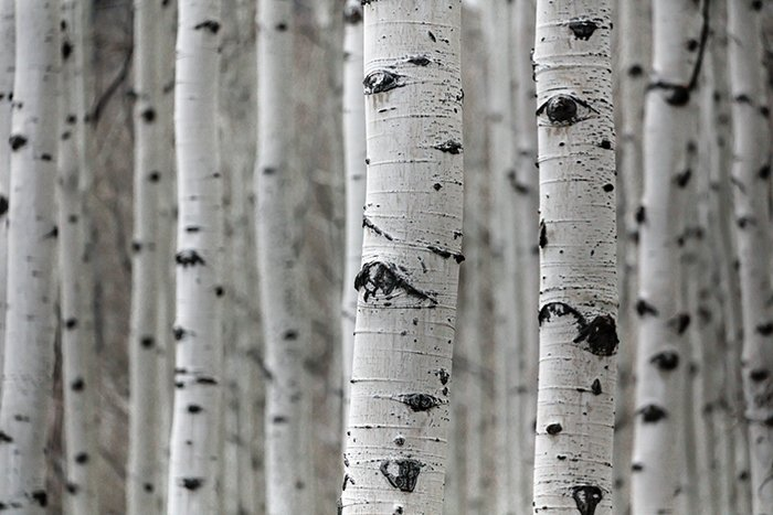 A forest of birch trees highlighting rough texture in photography