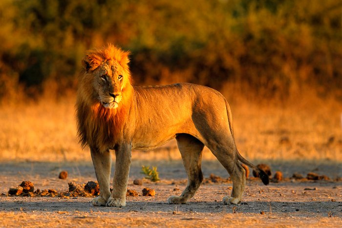 a majestic lion standing with the golden grasses behind him at sunset
