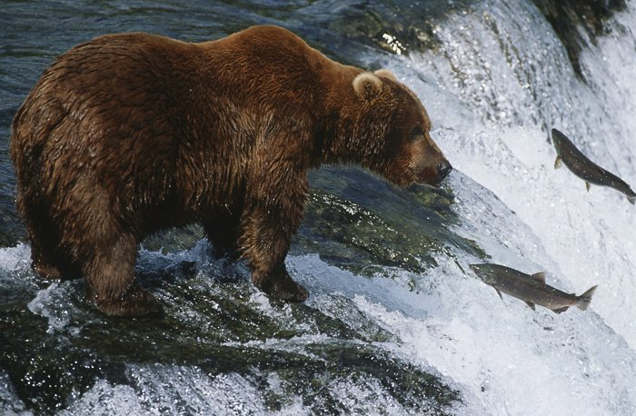 wildlife photography. a bear standing on a rock in a raging river, catching fish swimming upstream