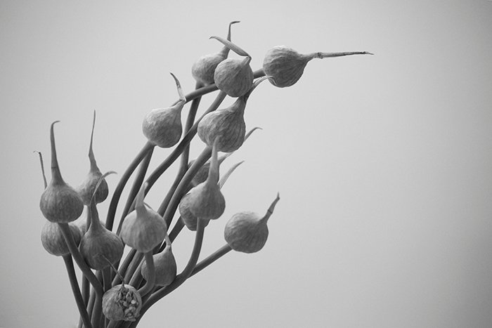 A black and white close up of garlic flowers
