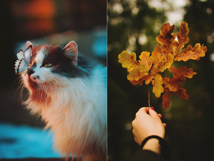 Cute autumn diptych photo of a cat and a hand holding a branch of autumn leaves