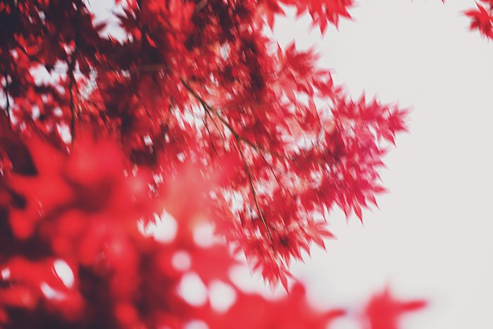 Blurred impressionist photography of bright red leaves on a tree