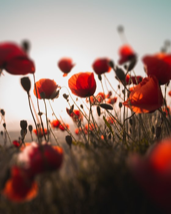 Creative blurred photo of red poppies demonstrating impressionist photography style