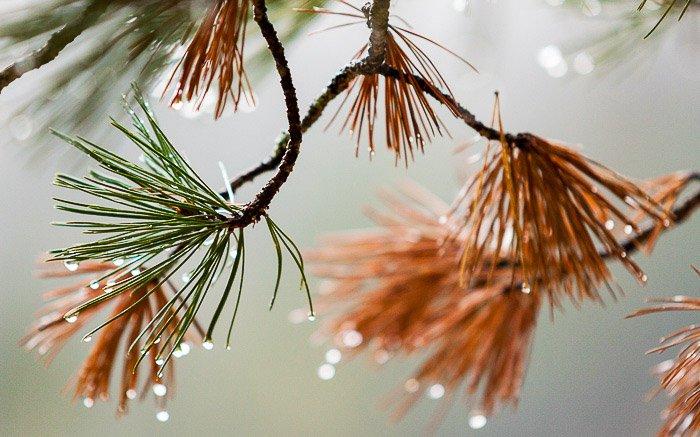 Close up fall photography seasonal shot of Pine foliage