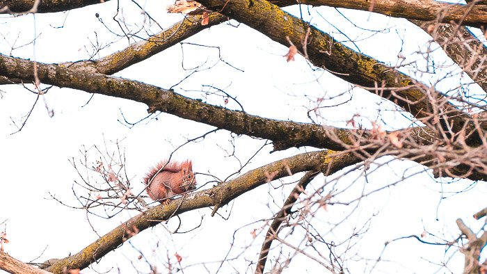 Natural photo of a red squirrel out for food in early spring