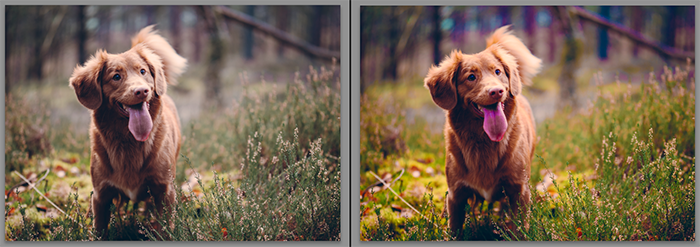 Diptych showing what is saturation and how it effects pet photography
