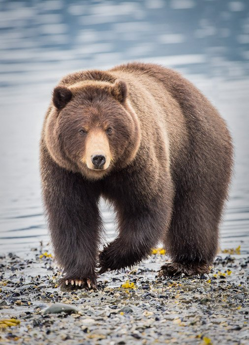 Wildlife portrait of a large bear walking by the edge of a lake