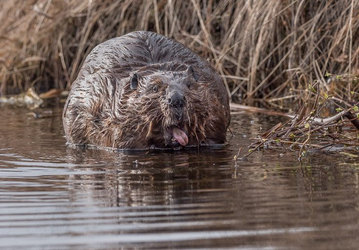 Wildlife photography shot of a beaver in water
