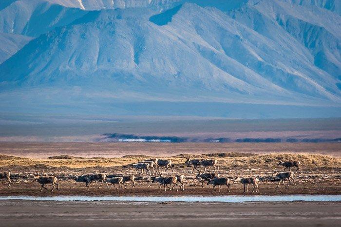 A herd of caribou grazing near water in a mountainous landscape