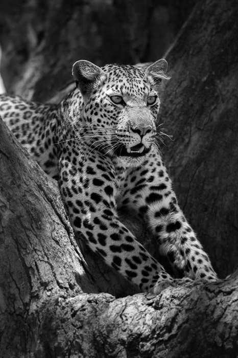 A close up black and white portrait of a leopard relaxing in a tree