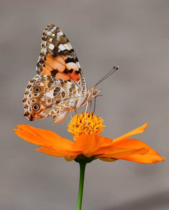 Beautiful butterfly photography of a tortoiseshell on orange flower