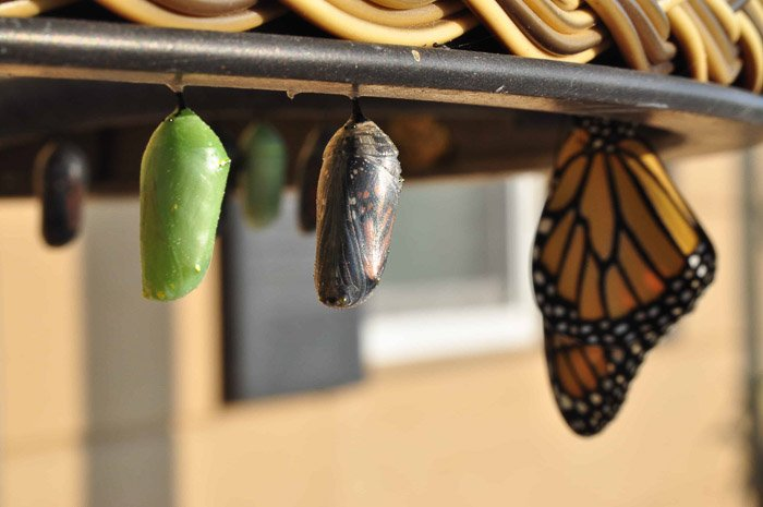 A monarch butterfly resting beside pupae