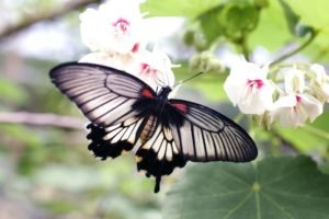 A grey and black butterfly on a flower
