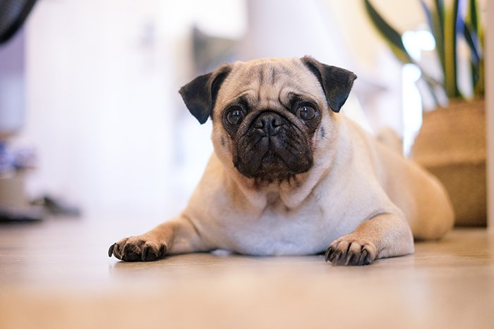 A cute portrait of a pug taken with a 35mm prime lens for pet photography