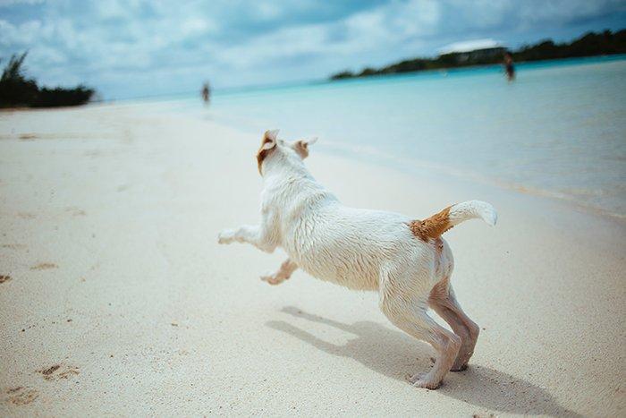 a small dog running on a beach