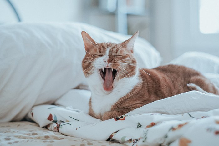 A portrait of a yawning ginger and white cat shot with a prime lens for pet photography