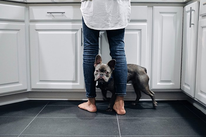 A French bulldog standing between his owners leg in a kitchen environment