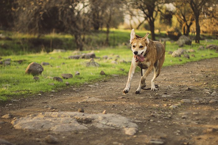 A pet portrait of a brown dog running in a park