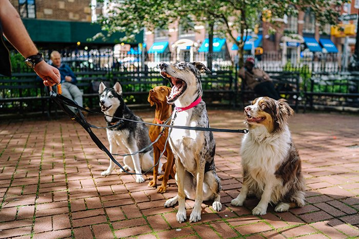 Outdoor pet photography porttrait of four dogs sitting in a park with a hand holding the leashes