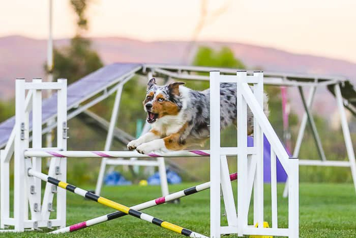 A dog jumping during agility games - dslr vs point and shoot