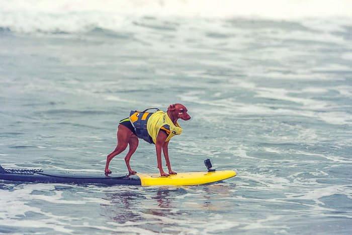 A cute pet portrait of a dog on a surfboard