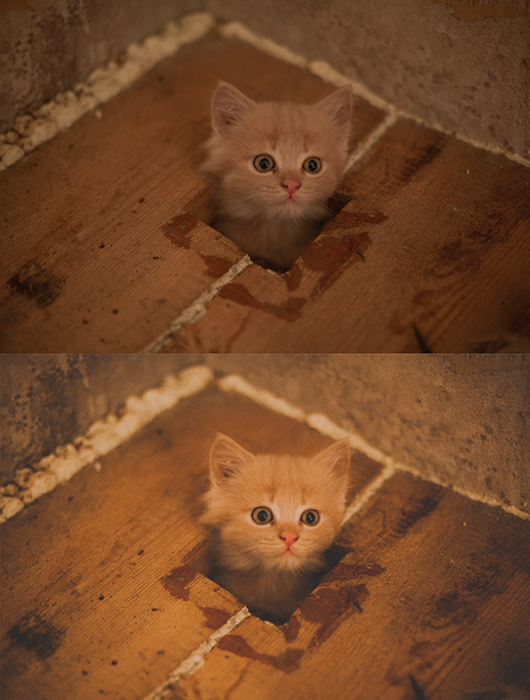A diptych photo of a marmalade kitten, before and after applying a film photography look in Lightroom
