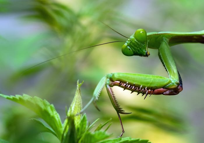 Macro photo of a praying mantis