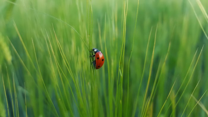 A close up photo of a red ladybird in green grass