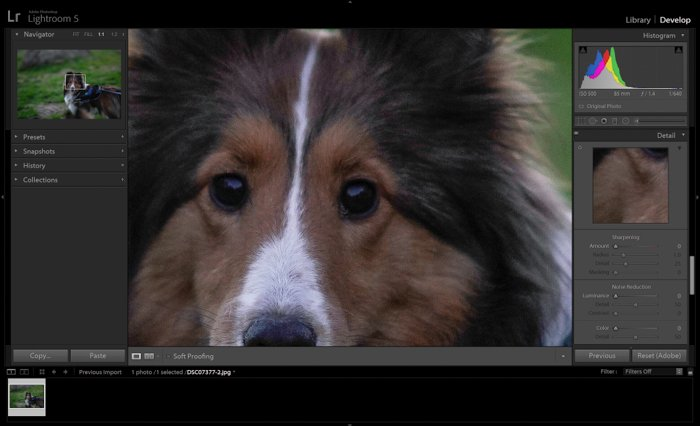 Editing a pet portrait of a brown dog in adobe lightroom - night photography tips