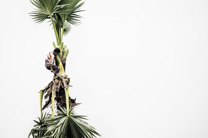 A man climbing palm trees against a white background - nikon prime lenses