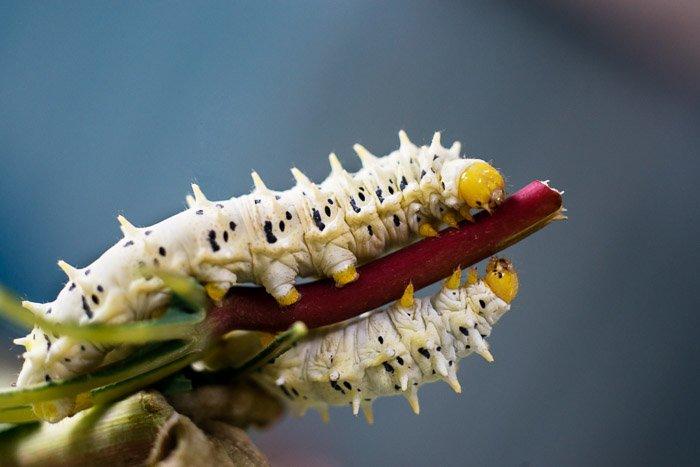 A close up photo of silkworms shot with a nikon prime lens