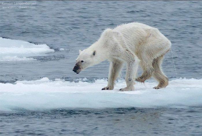 Dying Polar Bear -Kerstin Langenberger (2015)