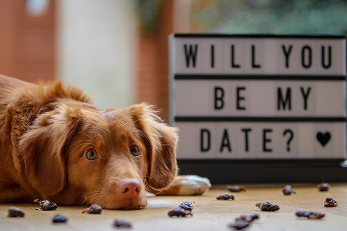 A brown dog lying in front of a sign reading 'will you be my date' - Valentines Day photoshoots.