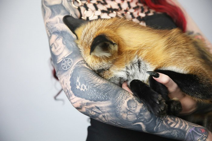 Close up of a tattooed female model posing indoors with a fox