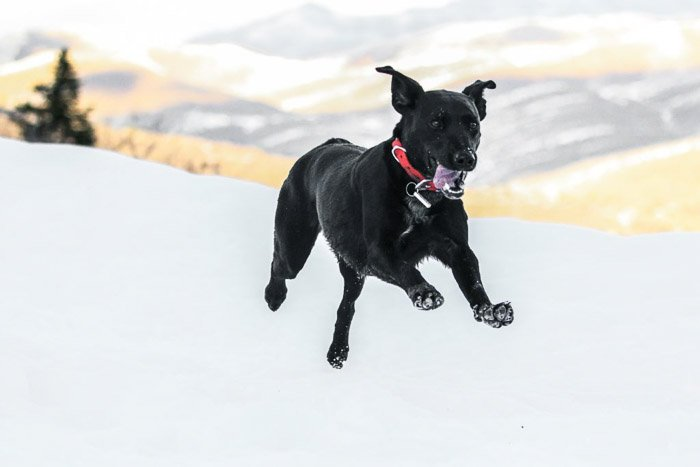 A black dog running through the snow shot with a telephoto lens