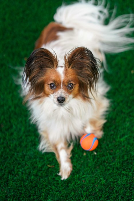 A sweet pet portrait of a small white and brown dog outdoors - photography and the law
