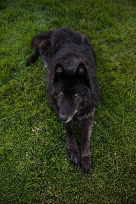 Pet portrait of a large black dog sitting outdoors - photography laws