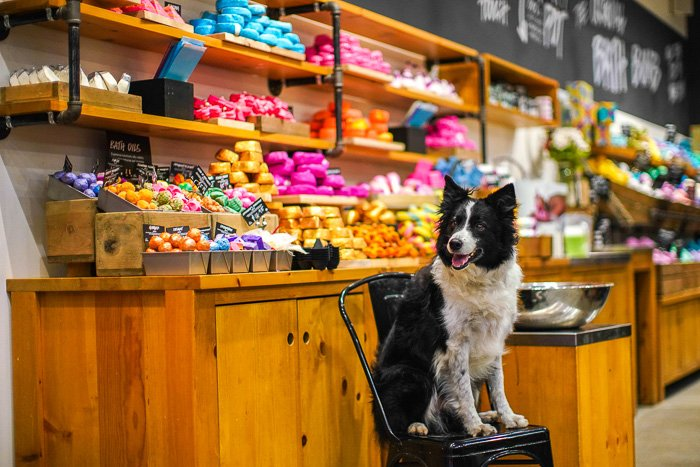 A bright and airy portrait of a border collie dog indoors - types of photography lights