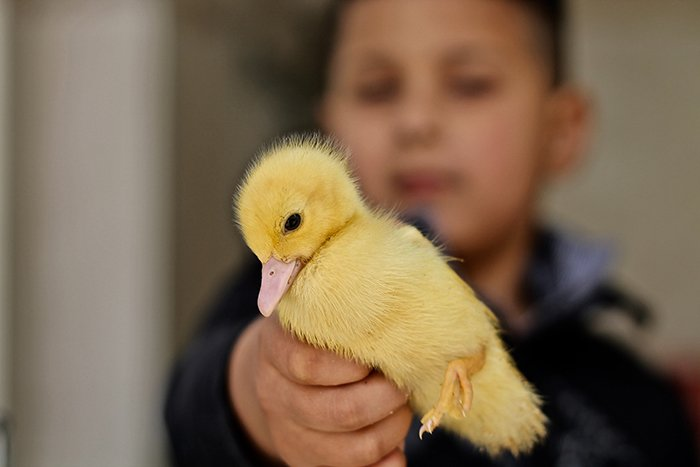 A sweet Easter photography portrait of a young boy holding a yellow duckling to the camera - easter photos