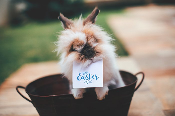 Adorable pet portrait of a fluffy bunny with a sign reading 'happy easter' in its mouth