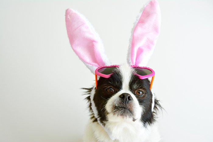 A cute pet portrait of a small dog wearing pink bunny ears and sunglasses - funny easter pictures