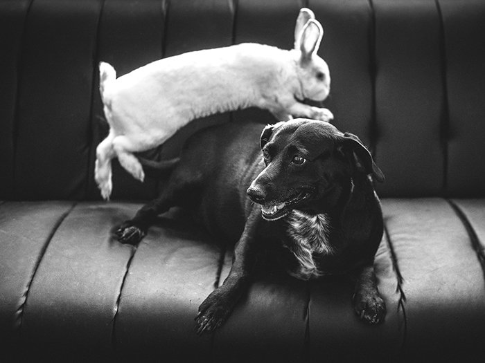 A black and white pet portrait of a white rabbit jumping over a black dog - easter photo ideas